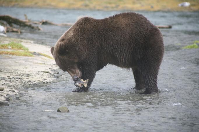 salmon bear