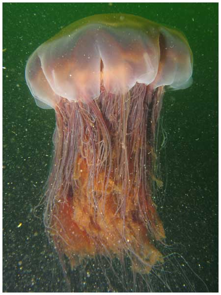 Largelionsmanejellyfish